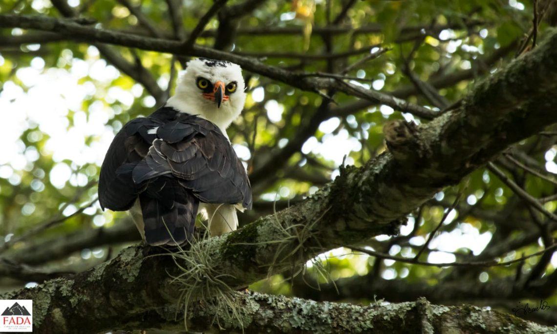 Aguila Blanquinegra en árbol
